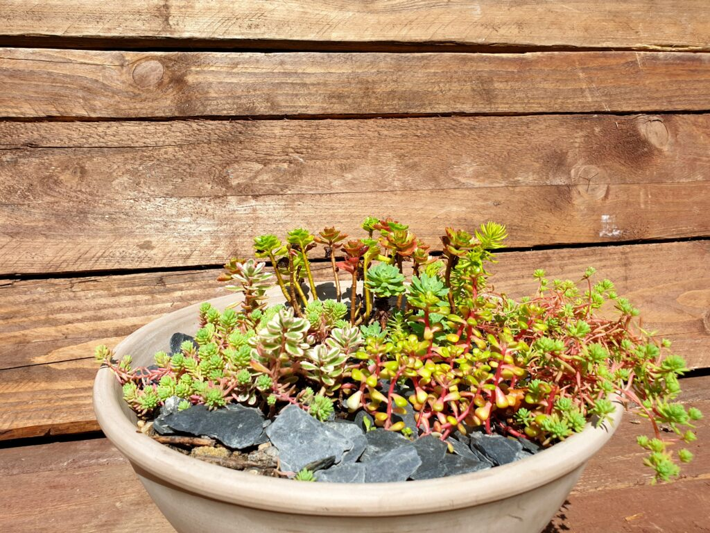 Assortiment sedum plantes grasse